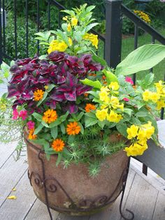 Signature Gardens: Annuals/Containers - Spring/Summer Esperanza Perilla magilla Profusion zinnias Spanish moss rose