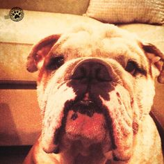"""""""Dogs are not our whole life, but they make our lives whole."""" #brooklyn #brooklynmood #dogs #pets #dogquotes #quote #ecrads #cards #bulldogs #englishbulldogs #bully #care #greetings"""