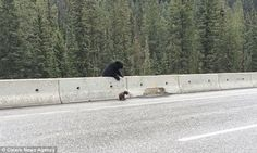 White Wolf : Mama Bear Pulls Cub Off Highway To Safety (VIDEO)
