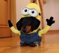 DOGS DRESSED AS MINIONS!!!  Click this link to see the full video http://www.google.co.uk/url?q=http://www.mix106.com.au/entertainment/the-feed/sausage-dogs-dressed-as-minions-is-too-adorable-for-words&sa=U&ei=qhCUVaibO4TpUprGg6gF&ved=0CCgQ9QEwCQ&usg=AFQjCNEo8P117VZblrnlJv3-KetiUJwwjg