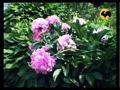 Пионы: тонкости ухода и почему они не цветут - YouTube