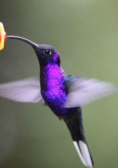Blue-chested hummingbird – Birds for Beer All Birds, Cute Birds, Pretty Birds, Beautiful Birds, Animals Beautiful, Beautiful Pictures, Tropical Birds, Colorful Birds, Hummingbird Pictures