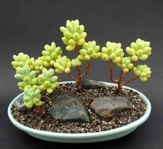 "I'm a great fan of Bonsai; So I had to ""pin"" this lovely, exotic specimen:  ""Treleasei Sedum"" as wee bonsai."