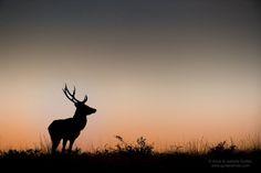 Superbe cliché du duo de photographes Amar et Isabelle Guillen ! ____________________________________________________________   Superb shot of a deer by the duo of photographers Amar et Isabelle Guillen !