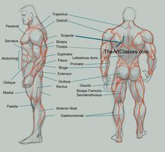 man-muscles-anatomy-drawing-back.jpg (700×646) via PinCG.com