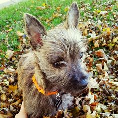 Woody in the fall leaves <3
