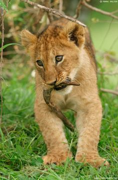 Lion photo gallery