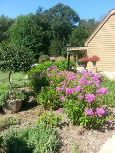 Bittersweet topiary in old whiskey barrels, phlox, and black urns...tom and debbie.. our backyard... 2013