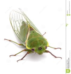 Green Cicada Insect Isolated Royalty Free Stock Images - Image ...