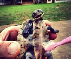 cleaning a baby turtle with a toothbrush....AWESOME!!