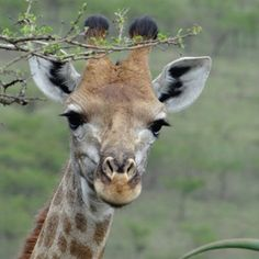 Tala Game Reserve (Tala Private Game Reserve, Silverton (Afrique du Sud) -    Tala is a wildlife sanctuary spanning over 3000 hectares and incorporating many diverse natural environments, the reserve features over 380 bird species, ...