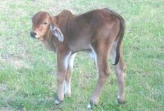 Humpin' it in the Boonies-Why Brahman?-The calves are so stinkin' cute!