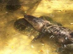 American Alligator (Alligator mississippiensis) Ellen Trout Zoo, Lufkin, Texas