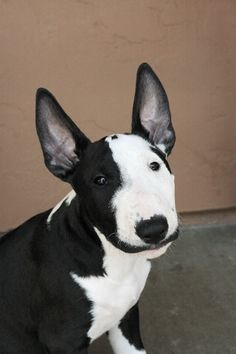 Cute Bull Terrier! Beautiful black and white ♡