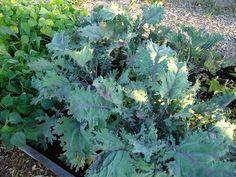 Ladner Community Garden: Harvesting Has Begun!