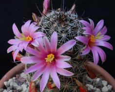 Mammillaria-Occidentalis-monzanillo