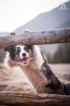 Zoe Border Collie in Chochołowska Valley more photos: https://www.facebook.com/IzaLysonArts