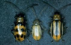 Cucumber Beetles can quickly destroy your cucumber crop.