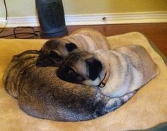 Pug pillow for two