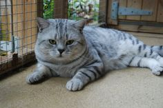 breeder of British shorthair black silver tabby and spotted kittens cats British Shorthair, Cats And Kittens, Black Silver, Dads, Animals, Animales, Animaux, Fathers, Animal