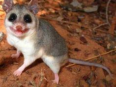 Cuíca, uma espécie de marsupial ameaçada no Brasil