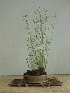 鉢巾は15センチ、ちょっと大きめの《カリヤス》です。 スノコの素材はワラビの葉茎で、自作のものです。 画像を左クリックすると拡大画像になります。 ...