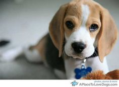 adorable beagle puppy ...........click here to find out more http://googydog.com
