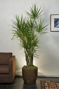 Houston's online indoor plant & pot store - Tall & Large Indoor Floor Plants