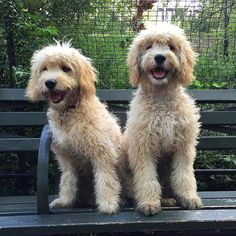 Just two bears on a bench @joeyandbeau  #tbt #brothers #twins #puppy #puppylove #puppiesofinstagram #puppiesofnyc #goldendoodle #goldendoodlesofinstagram #goldendoodlesofinsta #goldendoodlepuppy #goldendoodlemini #doodle #doodlelove #doodlesofinstagram #dog #dogsofnyc #dogsofinstagram #flufflypack #lacyandpaws #puppysketch by charliethedood