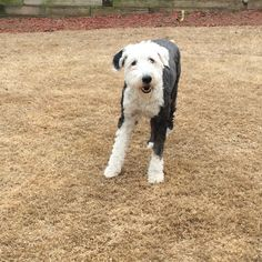 Murphy, THE Old English Sheepdog!