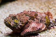 The Stonefish. This gill-ed underwater critter holds the title for the MOST venomous fish in the world, calling home to the Great Barrier Reef where it lives on the sea floor, disguised as an encrusted rock.