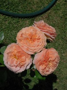 Chippendale is a beautiful Tantau floribunda  now in Mex. Rose garden.