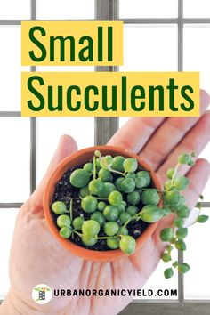 Read more on how to grow the best small and miniature succulents indoors.  Learn more for ideas on different types of small and mini succulents that are easy to grow  and take care of.  #Succulents  #MiniSucculents #Plants #Houseplant  #Gardening #UrbanOrganicYield How To Water Succulents, Succulent Soil, Types Of Succulents, Growing Succulents, Small Succulents, Planting Succulents, Outdoor Plants, Air Plants, Zebra Plant