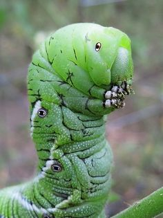 "Tobacco Horn Worm Portrait by Julie Falk: ""Who are you?"" said the Caterpillar to Alice."