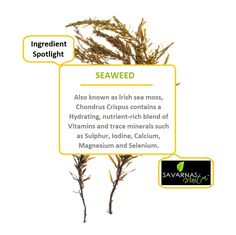 Seaweed enhances skin's ability to trap and balance moisture content while building an age-defying skin barrier.  Click below to find out our top selling seaweed products. #skincareingredients #seaweedskincare #seaweedextract #naturalsolutions #savarnasmantra