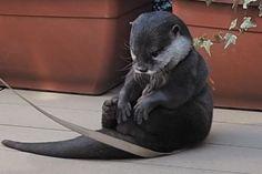 Aahhhhhhh, I just love otters. Cute Funny Animals, Cute Baby Animals, Animals And Pets, Wild Animals, Otters Cute, Baby Otters, Otter Love, Tier Fotos, Cute Creatures