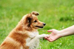 Hoje falaremos aqui sobre como ensinar seu cão a fazer as necessidades no local correto. É um treino simples e fácil, mas requer paciência e dedicação...