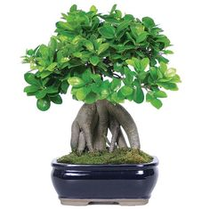 Ginseng Grafted Ficus Bonsai Tree - Asian - Plants - by Brussel's Bonsai