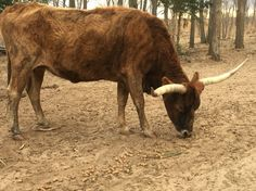 Brindle momma cow!