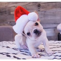 """""""Why you girls gotta be so confusing...?"""", Santa's little French Bulldog Puppy wants to know. #justtellmewhatyouwant #whatyoureallyreallywant"""