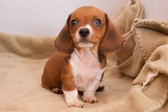 Rupert the miniature piebald dachshund, seven weeks old. doxie
