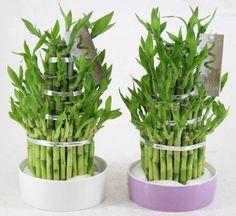 feng shui indoor plants - lucky bamboo