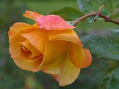 Roses are very hungry plants. Always remember the needs of your roses:  food, water and location.
