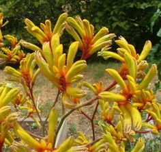 We recommend the more vigorous Kangaroo Paw hybrids, including Big Red, Gold Fever and Autumn Blaze. Â In the garden, these plants are hardy and live for many years. Drought Resistant Plants, Australian Wildflowers, Kangaroo Paw, Picture Sharing, Australian Animals, Botanical Art, Native Plants, Mother Earth, Trees To Plant