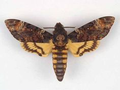 Death's Head Hawk Moth (Acherontia atropos). Male. European Species. Collection Location unknown. RF Haynes Collection, Ulster Museum, Ulster, Ireland.