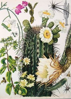 Vintage Gooseberry, Saguaro, and Night-blooming Cereus cactus illustration from Flowers and Plants of South America and Central America including the Barbados, 1988