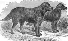 Image result for st john's water dog