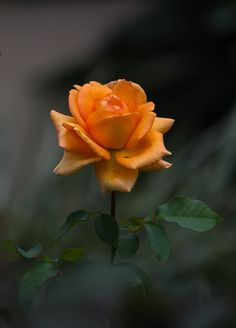 Thanks, Carroll. Hope it's OK to post the color version in this thread. Beautiful Flowers Images, Love Flowers, Beautiful Roses, Beautiful Gardens, Lotus Flower Pictures, Flower Images, Flower Photos, Good Morning Rose Images, Good Morning Roses
