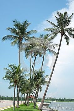 Coconut trees by the beach strip