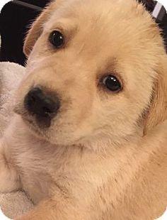 Corona Ca Golden Retriever Labrador Retriever Mix Meet Collector
